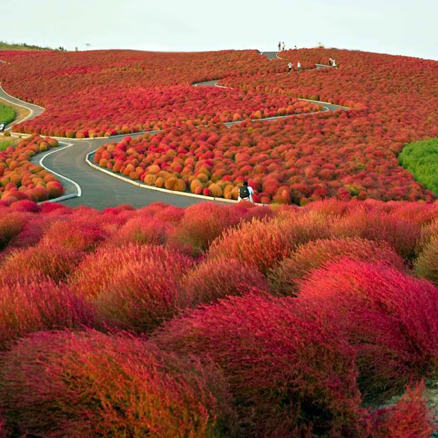 Hitachi Seaside Park @ Japan -